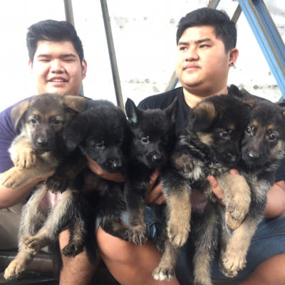 herder puppies good quality