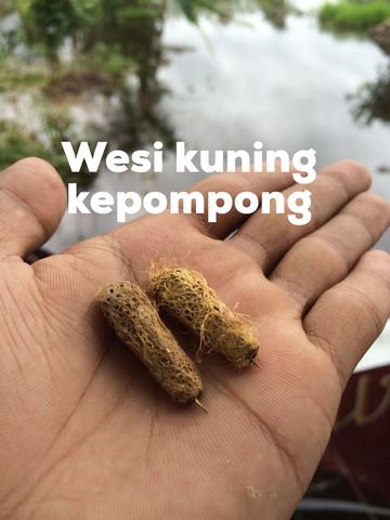 Wesi Kuning Kepompong sepasang