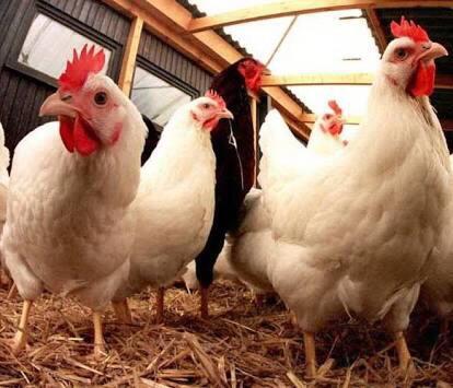 80+ Gambar Ayam Dan Bebek Paling Bagus