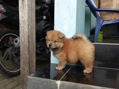 chow chow betina puppies