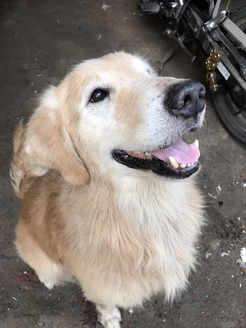 Golden Retriever siap pacak / kimpoi wilayah pademangan