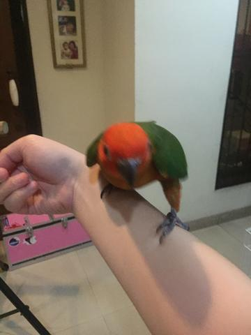 SUNCONURE RED FACTOR BABY ( RARE)