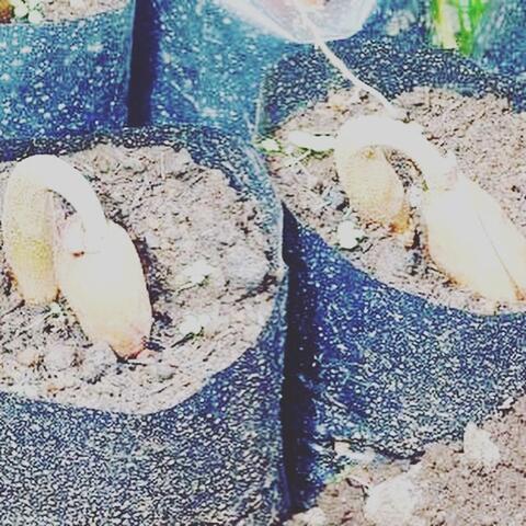Jual Biji dan Bibit Durian Harga Damai