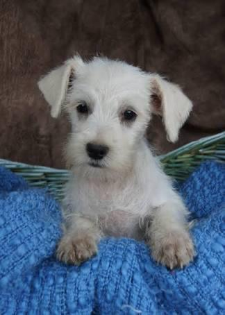 Open for Adopt Miniature Schnauzer