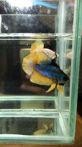 Ikan Cupang Giant Yellow Fancy Besar
