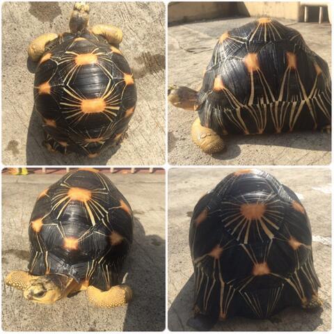 Sulcata dan Radiata Tortoise ( Kura kura darat)