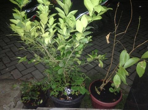 Tanaman Buah Jeruk Lemon Dalam Pot belum Berbuah