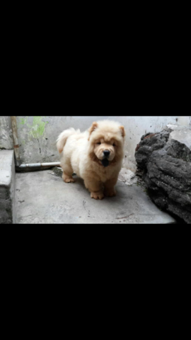chow-chow betina puppies 3,5 bulan stb