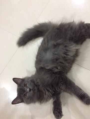 Kitten kucing maine coon bagus murah