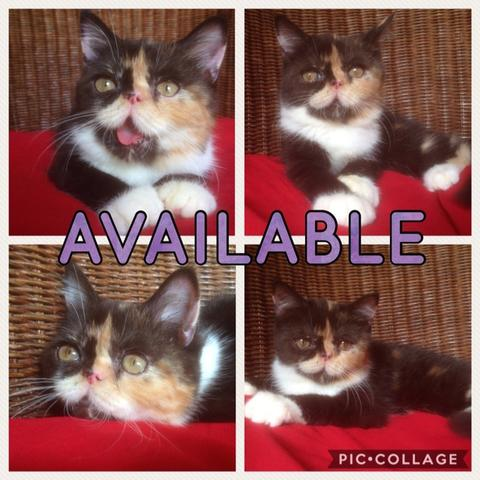 KITTEN EXOTIC SHORTHAIR CALICO