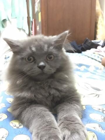 Kitten Persia Mix Himalaya Betina