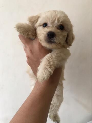Puppies Maltipoo ( maltese x poodle)