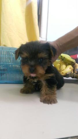 yorkshire mini puppies (jantan only)