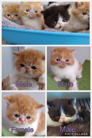 Jual Kitten Exotic Shorthair Kaskus