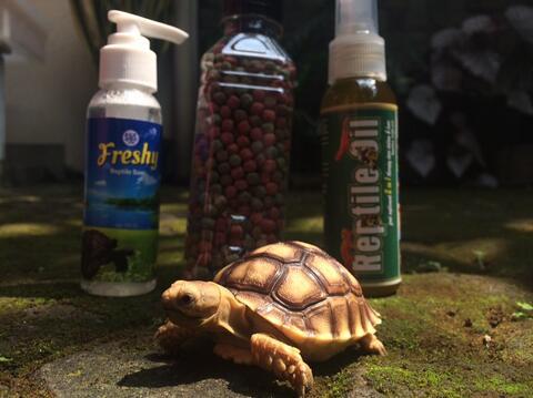 jual sulcata kura kura tortoise bukan aldabra indian star murah exoterra nomoyped