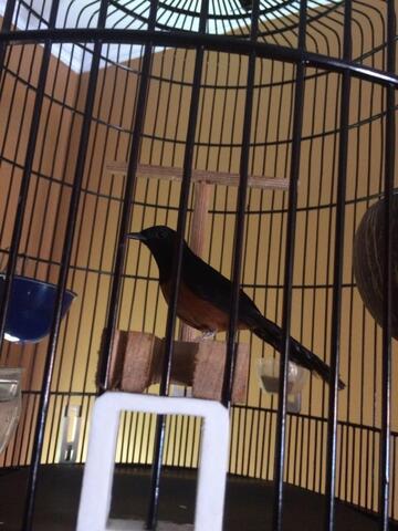 Burung Murai Nias Medan