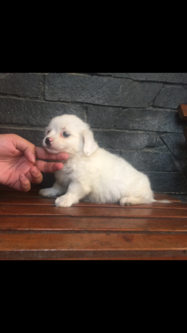 mix shihtzu maltese puppies murah meriah