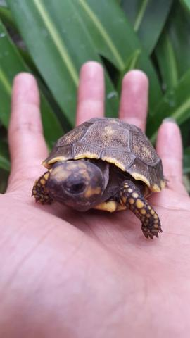 yellow foot tortoise kura darat