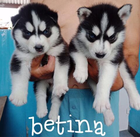 siberian husky puppies high quality