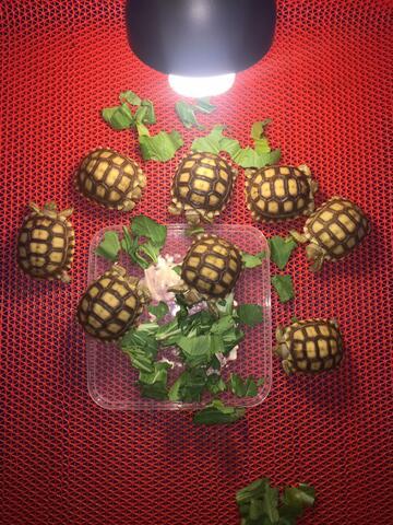 kura darat tortoise sulcata pardalis cherryhead redfoot aldabra istar turtle jinak
