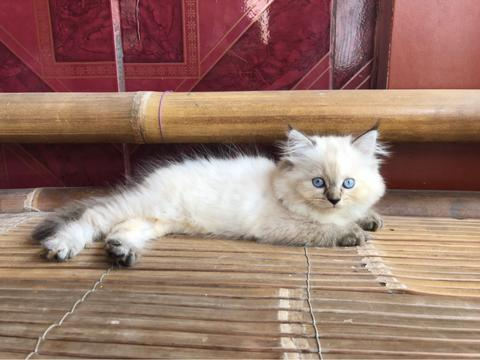 Kitten Himalayan Female/Betina