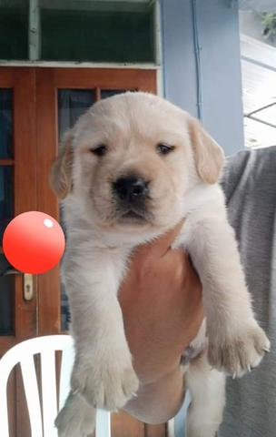 for booking puppies labrador retriever jumbo size