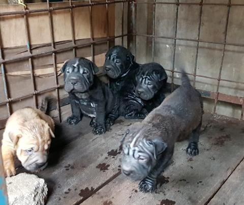 chinese sharpei puppies
