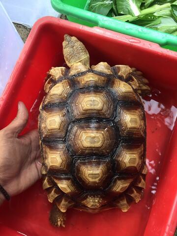 sulcata kura darat Tortoise size 26 betina Female bkn istar pardalis aldabra radiata