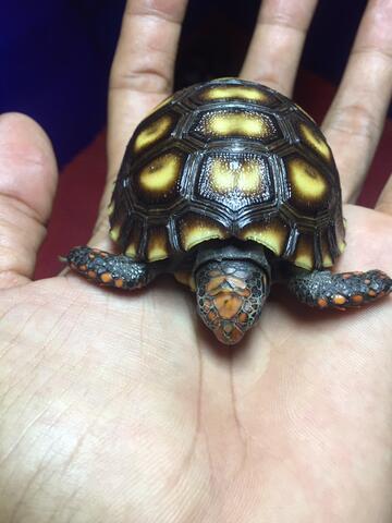 Cherryhead Tortoise Kura Darat Jinak 6.5cm bkn turtle sulcata pardalis reptil aldabra