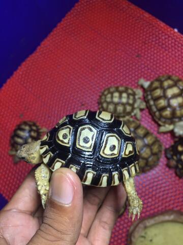 leopard pardalis kura darat Tortoise bkn turtle reptil jinak sulcata Ast cst