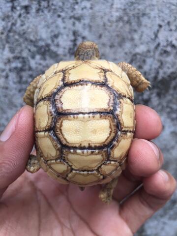 Super Rare Item Hypo Leopard Pardalis Tortoise