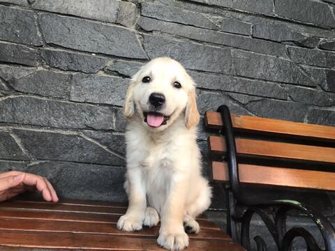 golden jantan puppies