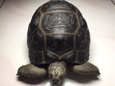 kura darat aldabra tortoise