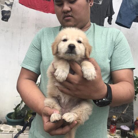 golden retriever betina puppies murah