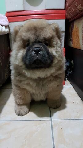 chow chow betina bigbone puppies
