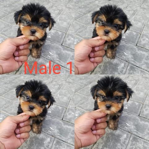 yorkshire yorkie puppies stb