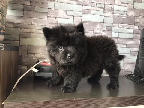 langka , puppies chow-chow black betina