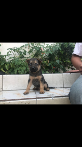 herder puppies