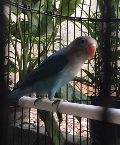 lovebird cobalt fc madura baby