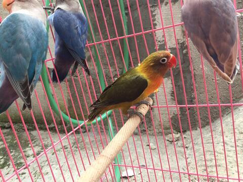 burung lovebird warna