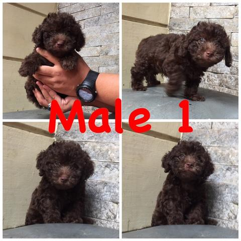 puppies toy poodle choco