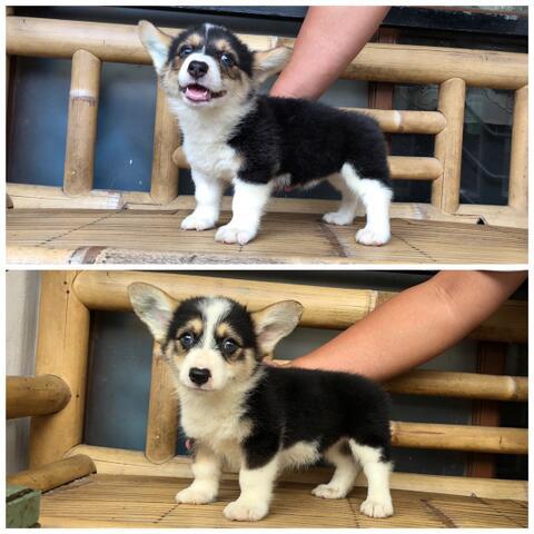 welsh corgi betina high quality puppies