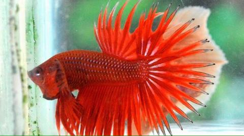 Ikan Cupang Crowntail Red