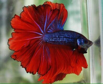 Ikan Cupang Halfmoon Red Blue