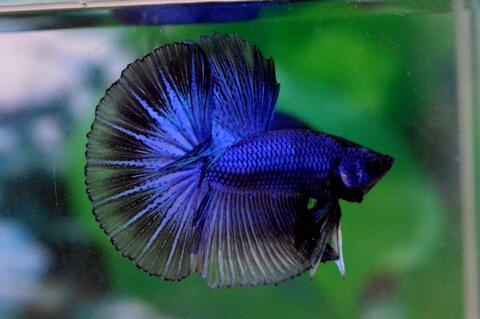 Ikan Cupang Halfmoon Blue