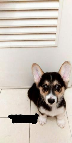welsh corgi jantan puppies