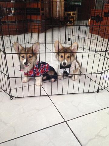 welsh corgi jantan puppies