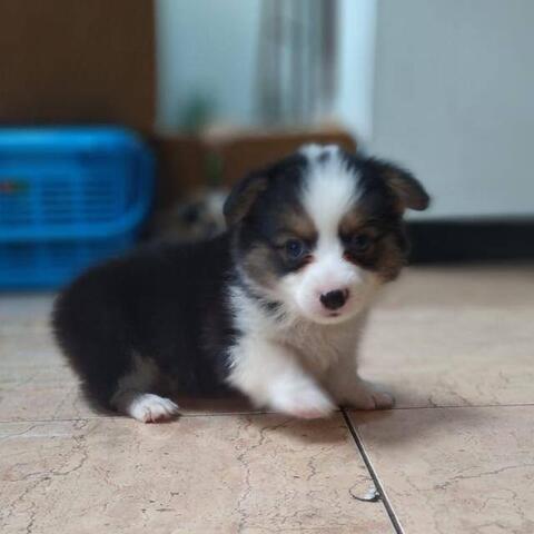 welsh corgi jantan puppies top high quality