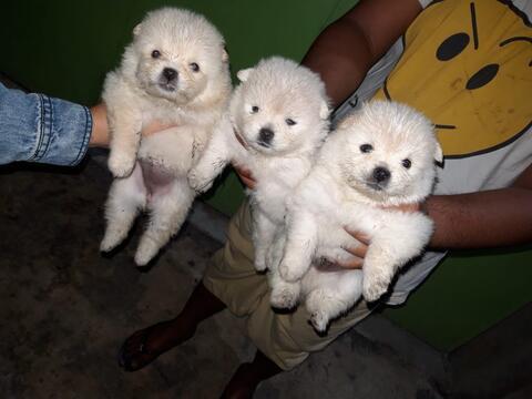 puppies minipom putih harga bersahabat