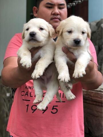 puppies golden retriever non stb (jantan)